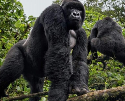 6 days Masai Mara and Volcanoes Gorilla trekking the extra ordinary African wildlife safari. The combination of wildebeest migration and the giant Mountain Gorillas in one 6 days Masai Mara and Volcanoes Gorilla trekking