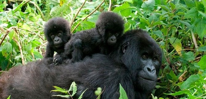 6 Days Masai Mara and Gorilla trekking safari