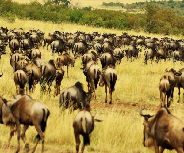 wildebeests migration