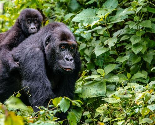 7 days Uganda Gorilla tracking